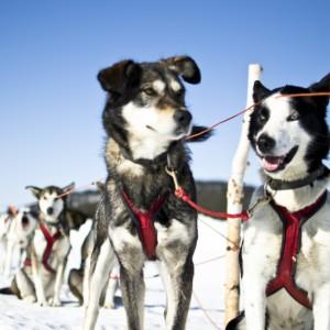 small_Sled_dogs_-_Photo_Martin_Smedsen